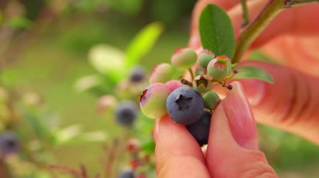 wild berries : Female hand picks berries from a bush of ripe blueberries. Berries in the garden on a bright sunny day Stock Footage