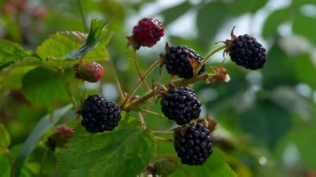 blackberry : Drops of water dripping on ripe blackberry berries on a branch bush, in time the summer rain