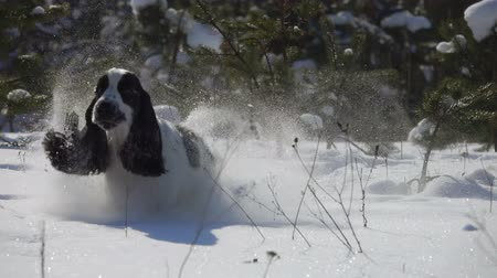 caça : Black and white english cocker spaniel is running in the snow on the winter training towards the camera Vídeos
