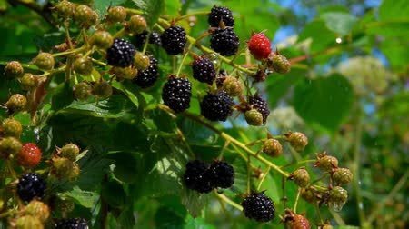 blackberry : Rain drops are falling down on blackberries on the branches