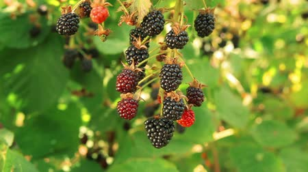 blackberry : Blackberry harvest in the garden on a summer sunny day Stock Footage