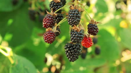 blackberry : Ripe juicy blackberries in the garden on a summer sunny day
