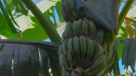 tilt down : Panorama of a banana tree with raw fruit and leaves against the background of a bright blue sky Stock Footage