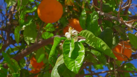 laranjas : Branch with flowers and orange on the background of ripe oranges on a tree