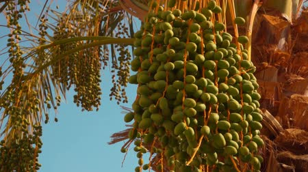 palmtree : Raw green fruits of the date palm on the back ground of a clear blue sky