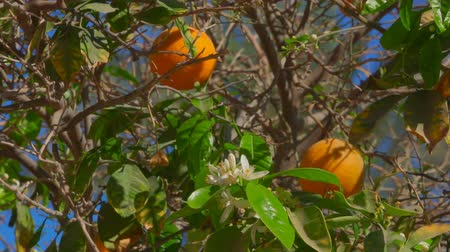 mandarinka : Orange tree with ripe fruits on the branches on the background of a clear blue sky