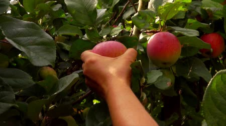 engradado : Female hand picks a ripe big red apple from a tree branch in the garden