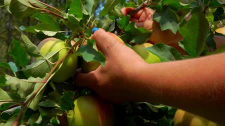plantação : Female hand picks a ripe big apple from a tree branch in the garden
