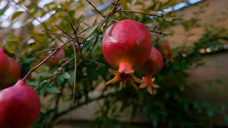 сущность : Pomegranate fruits are growing on the branch of a pomegranate tree