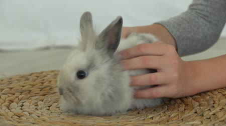 lepre : Childs hand is caressing tenderly a cute grey fluffy little rabbit