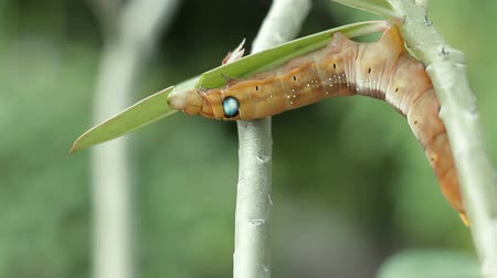 motyl : Colored caterpillar or Brown worm eating leaf in garden. Wideo