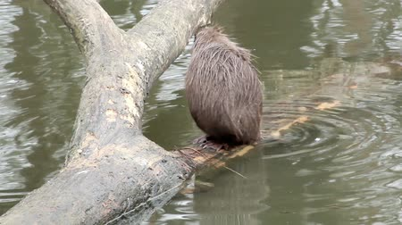river rat : muskrat sitting in a tree Stock Footage