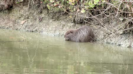 river rat : muskrat sitting by the lake