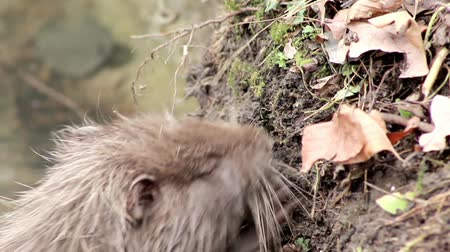 river rat : muskrat chewing on a branch