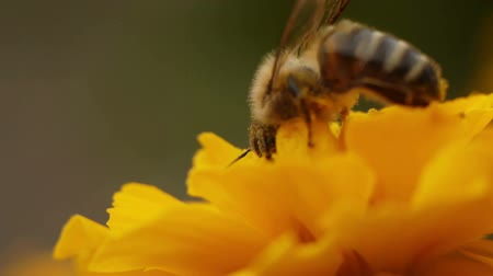 yelow : Macro shot of a honey bee gathering pollen.