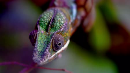 red symbol : Close up of a chameleon moving its eyes.