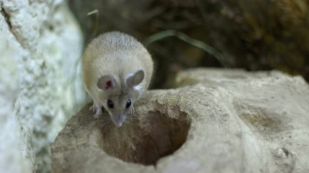european wood mouse : A field mouse inspects a hole in a log.