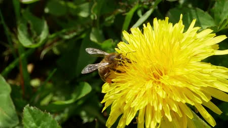 yelow : Honey bee hovering and landing on a dandelion to gather pollen. Stock Footage