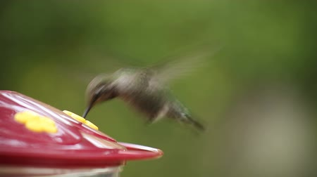 alimentador : a ruby-throated hummingbird feeds, then flies away with a combination liftoff and hover Stock Footage