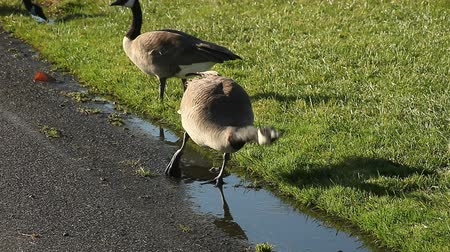 országúti : geese drink from puddles by a road Stock mozgókép
