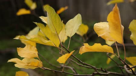 folhas : yellow leaves of an apple tree