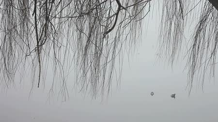 fogged : bare branches of a weeping willow near a fogged in lake Stock Footage