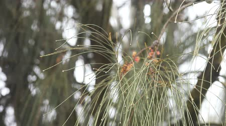 nedvesség : dew collects on the ends of pine needles