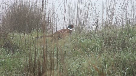 av : a pheasant hurries away on a foggy morning