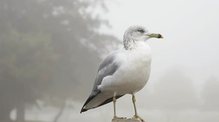 gaivota : a seagull grooms itself on a foggy day