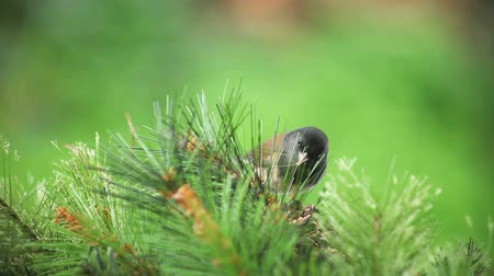 quintal : dark-eyed junco feeds among pine branches