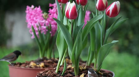 laleler : two chickadees with bird food from pots of tulips and hyacinths