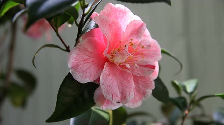 owady : pink camellia with ants moving around on the petals Wideo