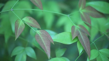 esinti : leaves of heavenly bamboo in a gentle breeze