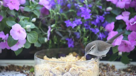 tigela : a wren and a titmouse find worms in a bowl of suet