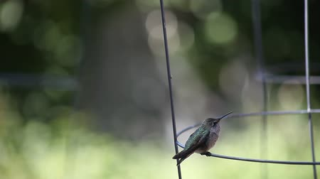 irritáció : a ruby-throated hummingbird scratches while perched on a wire