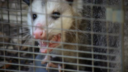 kürk : a possum has been caught in a humane trap. Stok Video