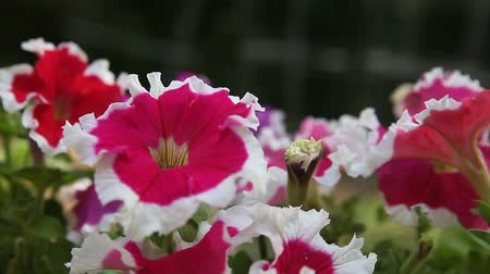 damar : close up of bicolor petunias with pretty ruffled edges