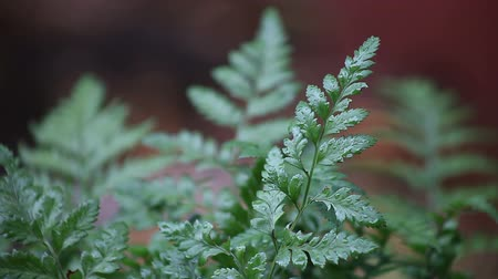 deszcz : fern fronds on a rainy day Wideo
