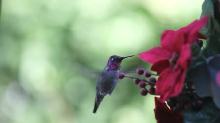 hummingbird : a ruby-throated hummingbird visits a holiday feeder, maintaining eye contact with the camera