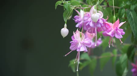 fuksja : delicate flowers of a fuchsia with space for text on the left