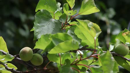 morele : small fruits growing on the branches of an apricot tree Wideo