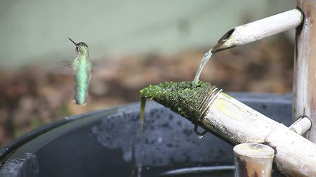 a young hummingbird rides a moving bamboo fountain part as he bathes