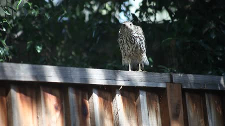 quintal : a hawk  moves along a fence, cleans its beak and takes off