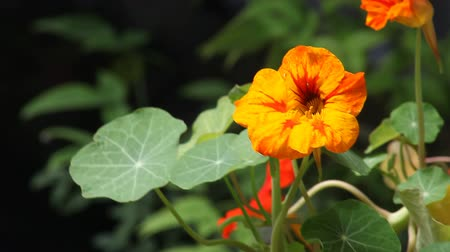 növekvő : bright orange and yellow flowers with distinctive leaves
