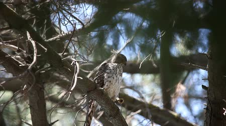 sas : a young hawk in a pine tree calls to its parent