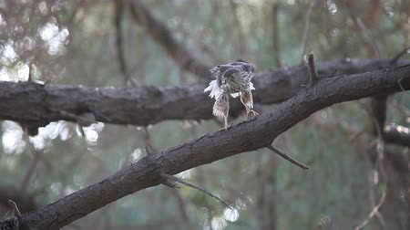 sas : a juvenile sharp-shinned hawk cleans its talons and beak while a chickadee sounds a warning