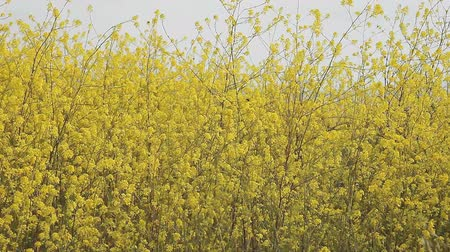 yabanarısı : a stand of bright yellow wildflowers with a bicyclist in the background