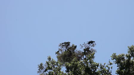 birds flying : a flock of crows gathers in a tree, then takes off