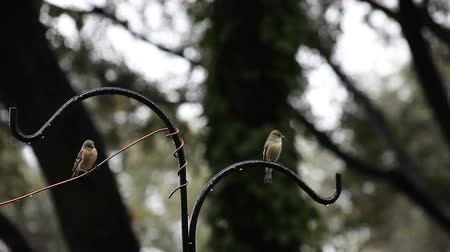 deslizamento : goldfinches perch, take off and land or fail to land on a shepherds hook