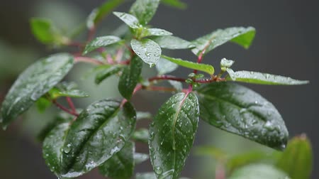 fuksja : wet leaves of a fuchsia plant on a rainy day Wideo